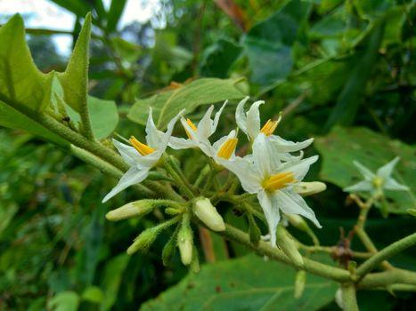 Solanum torvum (Turkey berry, rickly nightshade, shoo-shoo bush, wild eggplant, pea eggplant, pea aubergine, kantɔsi, konsusua) or commonly called pokak eggplant and flowers. the smallest eggplant