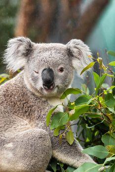 Funny koala animal winking blinking cute wink at camera at Sydney Zoo in Australia. Australia wildlife animals