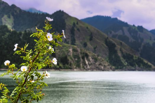 White flowers growing at the banks of Tianchi Lake