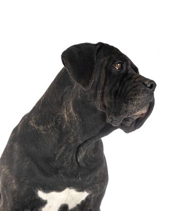 adult italian mastiff in front of white background