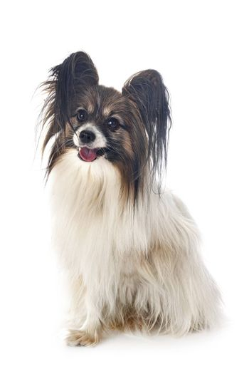 papillon dog in front of white background