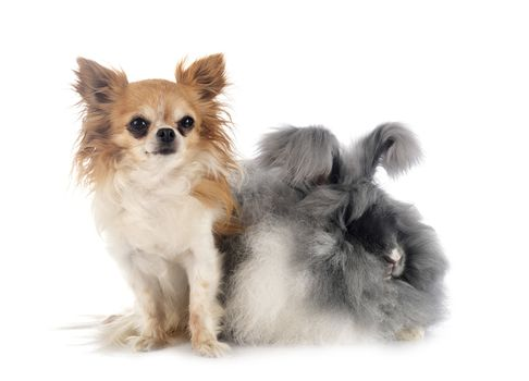 English Angora and chihuahua in front of white background