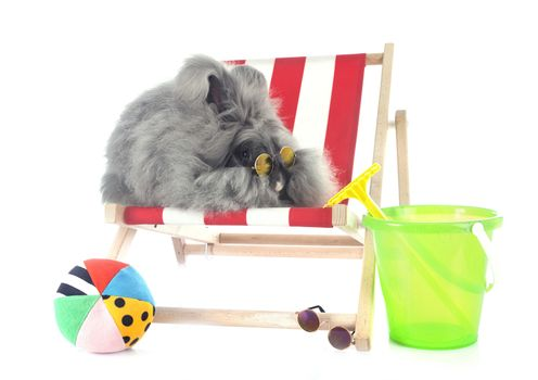 English Angora in front of white background