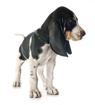 puppy bernese Schweizer Laufhund in front of white background