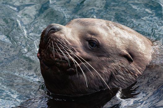 Portrait of wild sea animal Steller Sea Lion or Northern Sea Lion (Eumetopias Jubatus) swims in cold waves Pacific Ocean. Avachinskaya Bay, Kamchatka Peninsula, Russian Federation, Eurasia.