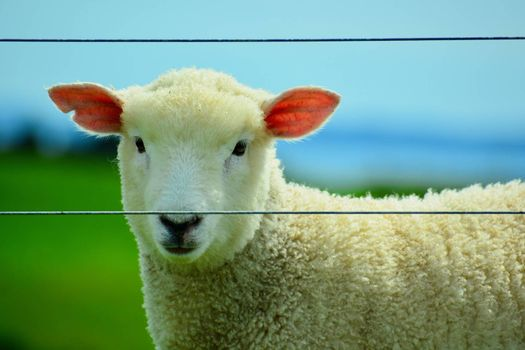 Sheep farming played a huge part in the development of the New Zealand economy. Around 220,000 tonnes of wool is shorn from New Zealand sheep each year.