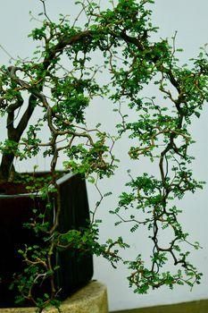 Traditional Japanese art of bonsai - tiny miniatures of mature trees