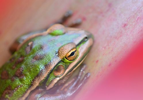 A close-up photo of a frog (Litoria aurea; Green and Golden Bell frog) resting in Bromellia plant