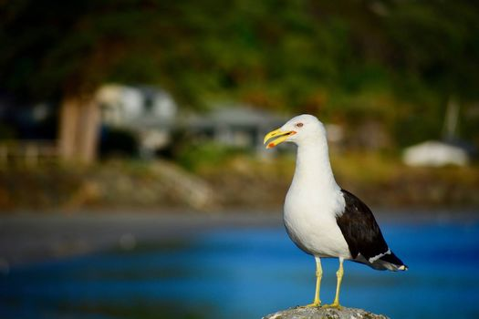 A close-up photo of a bird; mature Southern black-backed sea gull in natural environment