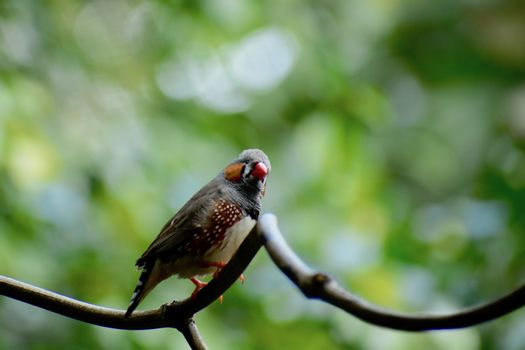 Zebra finches are loud and boisterous singers.