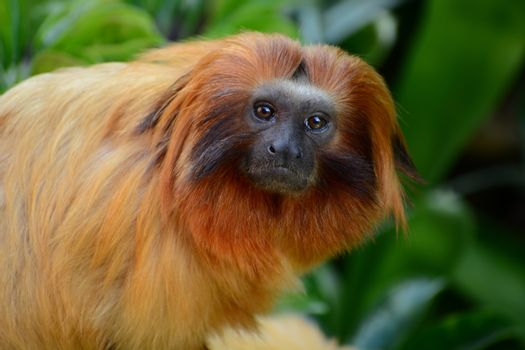 Golden lion tamarins are only found in the lowland forests of Brazil. In the wild, they will live for approximately 15 years, but in zoos they can live up to 20 years.