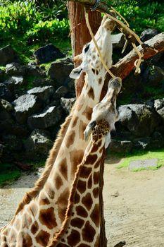 Giraffe(Giraffa camelopardalis) is an Africaneven-toed ungulatemammal, thetallestliving terrestrial animal and the largestruminant.