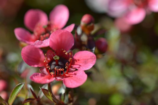Close-up of a flower, beautiful flowers, being close to nature, bringing nature close to you, flowering Manuka bush