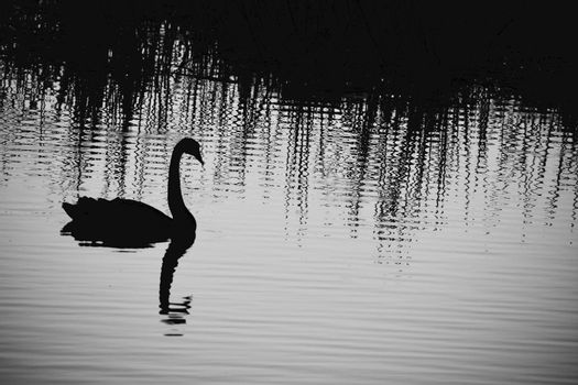 A close-up photo of a bird; a black swan (Cygnus atratus) in natural environment; glimmering water background; late evening