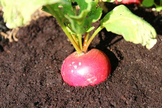 radish in the soilin the garden