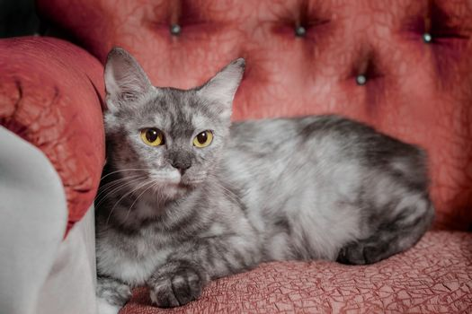 silver adult cat reclines on a red sofa