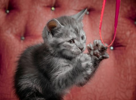 gray outbred kitten on a red sofa plays with a ribbon