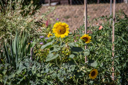 Allotment with herbaceous blooming sunflowers