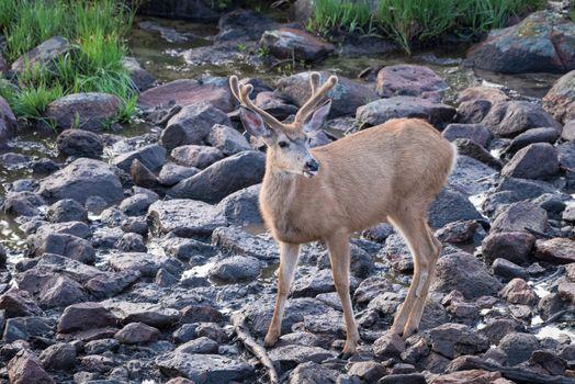 Wildlife of Colorado. Mule Deer buck in Velvet at Rocky Mountain Spring