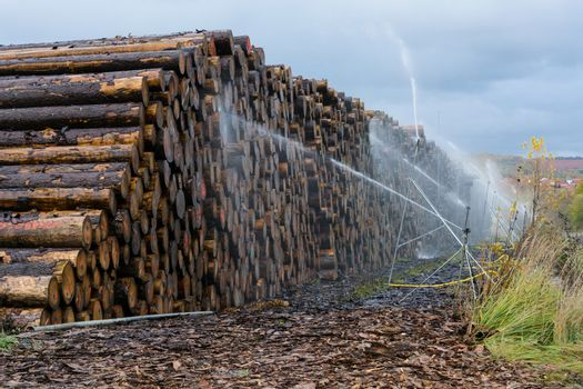 Wood yard business. Wood stacked outdoors. Concept forest industry environment. Felled tree trunks are sprayed with water to protect them against wood pests