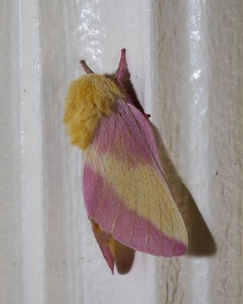A colorful, fuzzy Rosy Maple moth clings to an outside door frame.