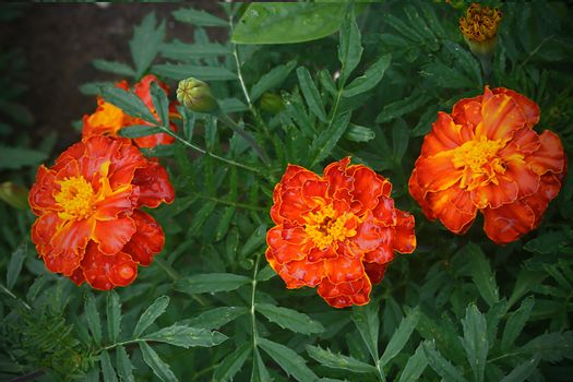 Marigold flowers close-up in the summer garden
