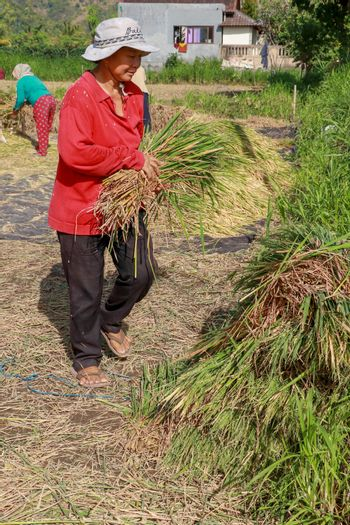 Female workers harvesting rice. Bali, Indonesia. Middle aged woman with white hat harvested rice.
