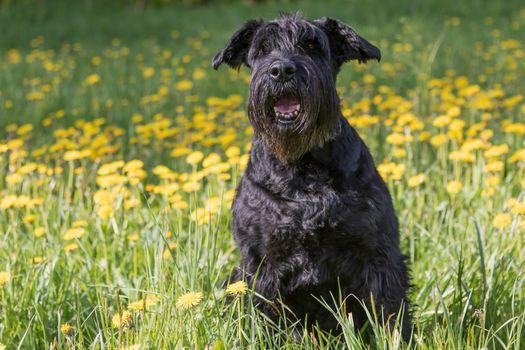 Obedient Giant Black Schnauzer Dog sitting at dandelion meadow.