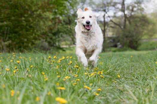 Golden Retriever Dod is running at the blossoming dandelion mead