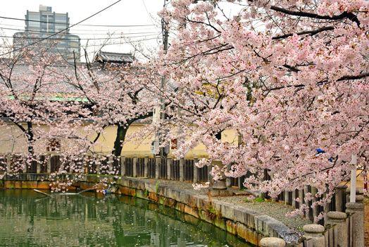 Cherry blossom or sakura during spring time in Osaka, Japan