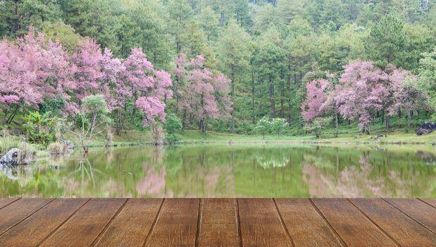 Wild Himalayan cherry landscape in Khun Huay Hang, Doi Inthanon,thailand.