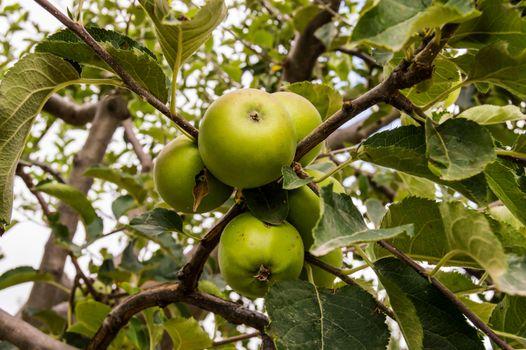 Unripe green apples on branch