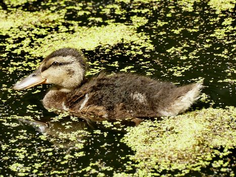 mallard offspring in a pond with duckweed