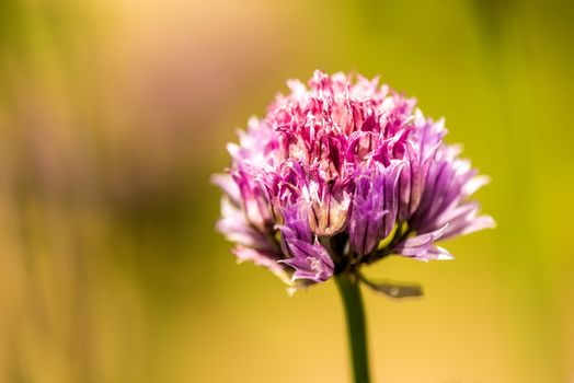 blooming chive in spring with blurred yellow background