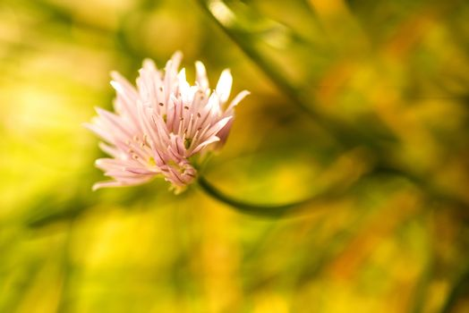 Blooming chive, closeup of the flower of the kitchen herb