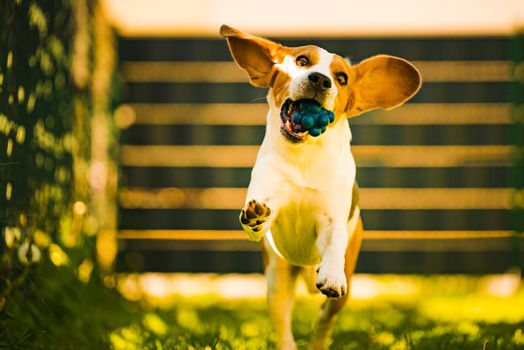 Cute Beagle dog running happy over the yard with a blue ball towards camera. Dog fetching toy.