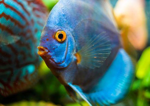 Blue Discus fish detailed close up in the aquarium. Fishkeeping theme.