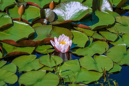 Floating lily flower and pads in the pond