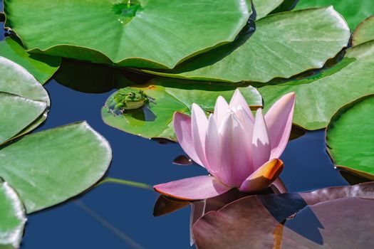 Frog sitting on the floating lily pad near the lily flower