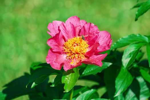 Flower of pink peony in the garden