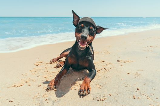 miniature pinscher puppy on the beach by the blue lagoon resort vacation