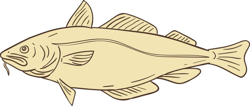 Drawing sketch style illustration of an Atlantic cod, or Gadus morhua, a benthopelagic fish of the family Gadidae, also commercially known as cod or codling viewed from the side set on isolated white background.