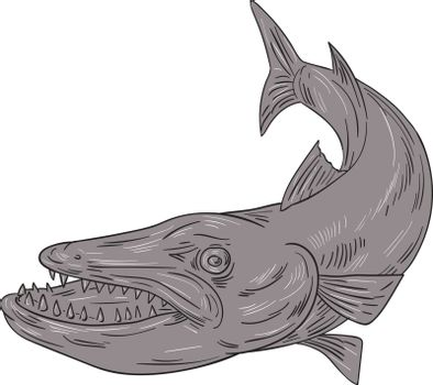 Drawing sketch style illustration of a barracuda, a ray-finned saltwater fish of the genus Sphyraena, the only genus in the family Sphyraenidae set on isolated white background.