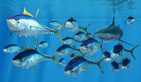Yellowfin Tuna swim like torpedoes to get away from a Tiger Shark pursuing them in the vast ocean.