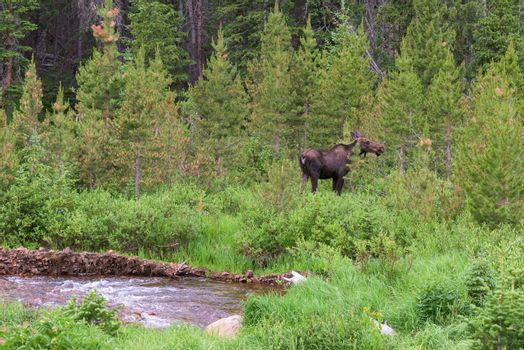 Colorado Moose Living in the Wild. Cow moose feeding in the forest near a stream.