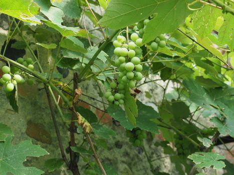 grapevine plant (Vitis vinifera)
