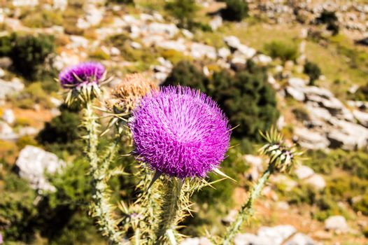 Thistle is the common name for a group of flowering plants chara
