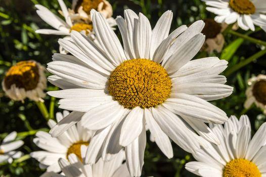 Leucanthemum x superbum, Shasta daisies. White spring,