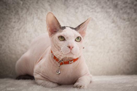 Bald Sphynx cat on a sofa