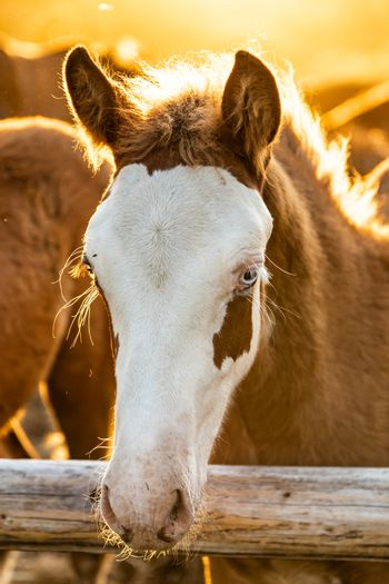 Icelandic horse foal in evening sunlight looking into the camera